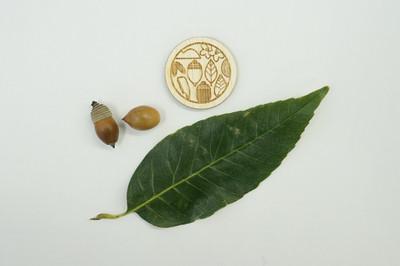 Quercus_myrsinifolia